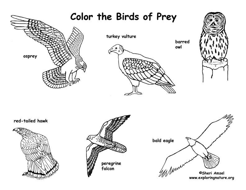 Birds of Prey Coloring