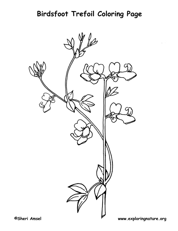 Birdsfoot Trefoil Coloring Page