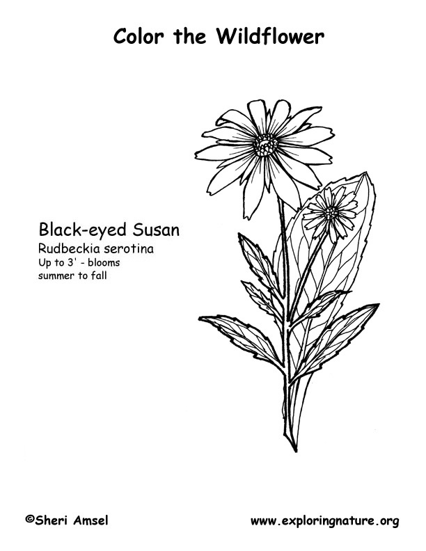 Black Eyed Susan Coloring Page