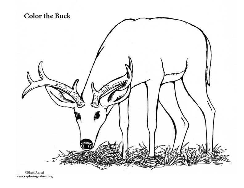 Buck (Male Deer) Coloring Page