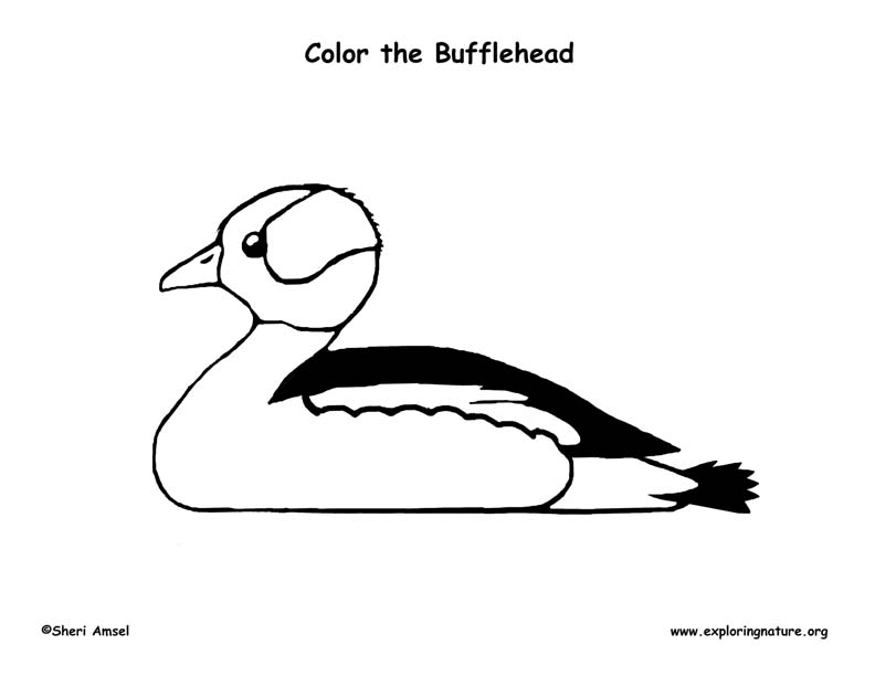 Duck (Bufflehead) Coloring Page