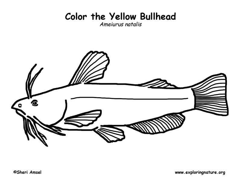 Bullhead Coloring