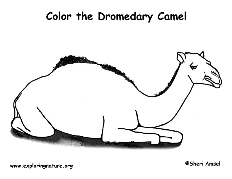 Camel (Dromedary) Coloring Page