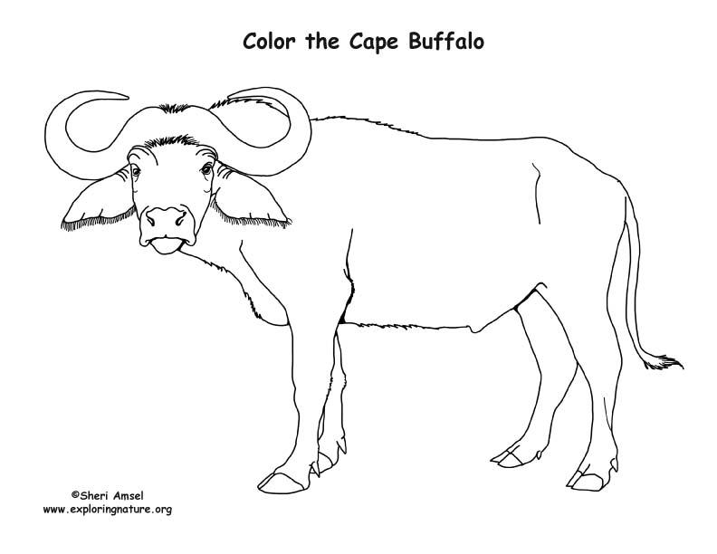 Cape Buffalo Coloring Page