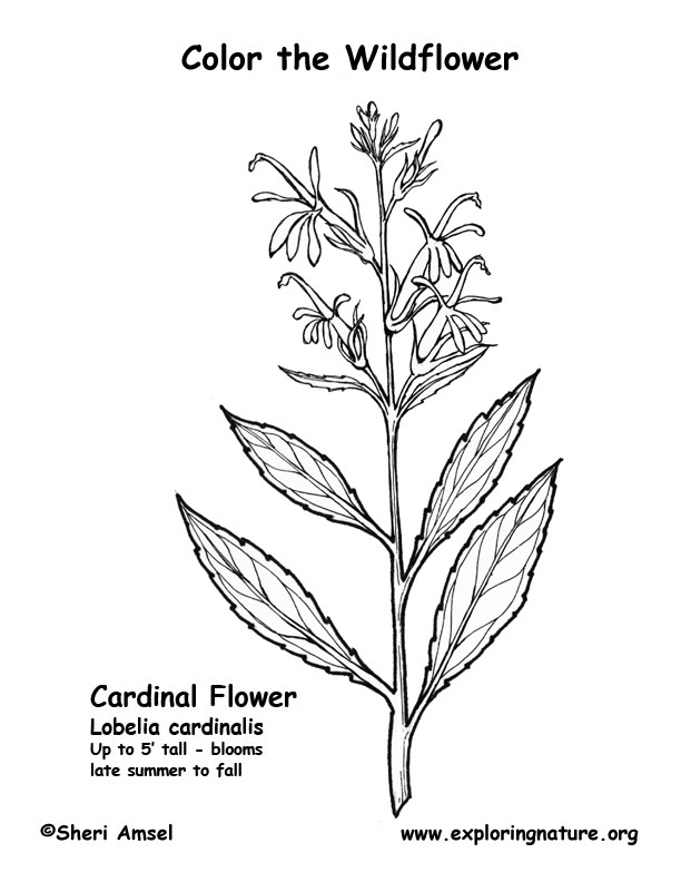 Cardinal Flower Coloring Page