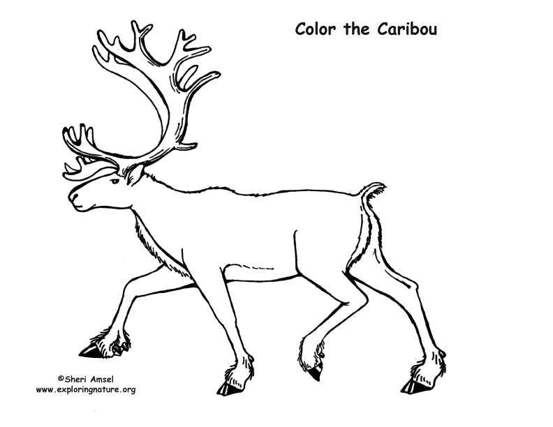 Caribou Coloring Page