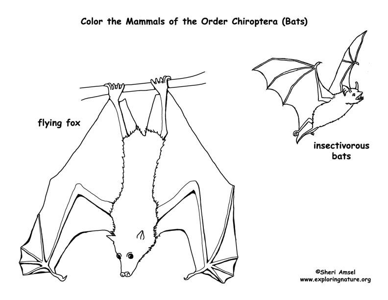 Bats (Order Chiroptera) Coloring Page
