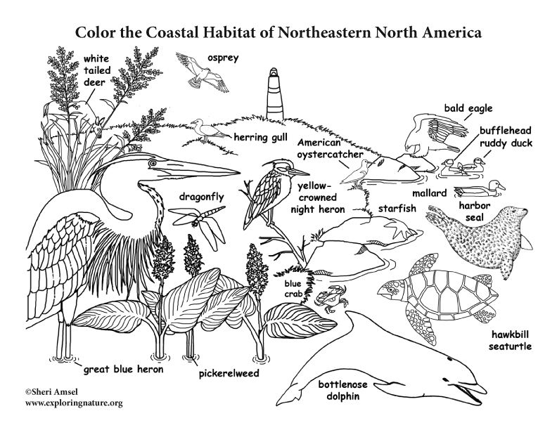 Coastal Habitat of Northeastern North America Coloring