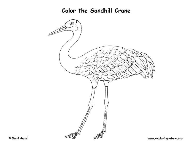 Sandhill Crane Coloring Page