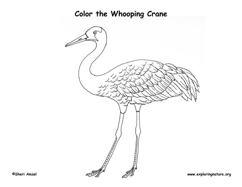 Crane (Whooping) Coloring Page