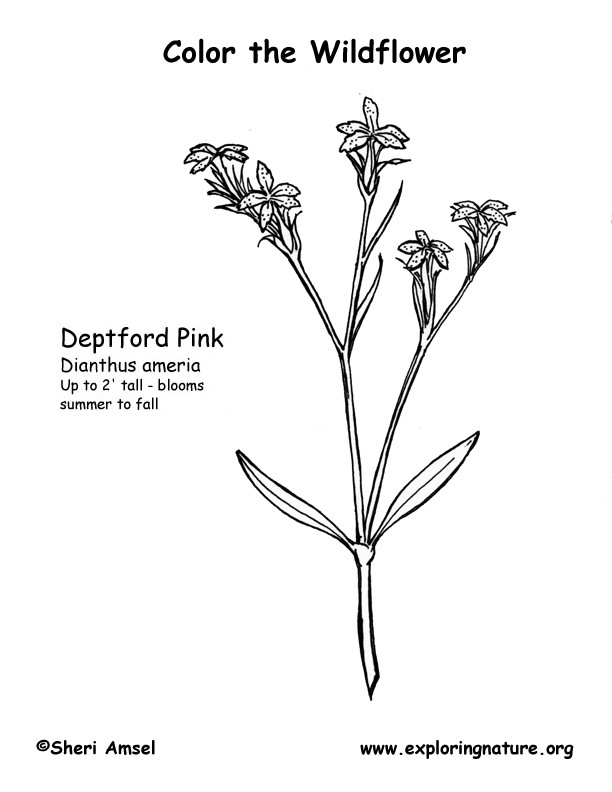 Depford Pink Coloring Page