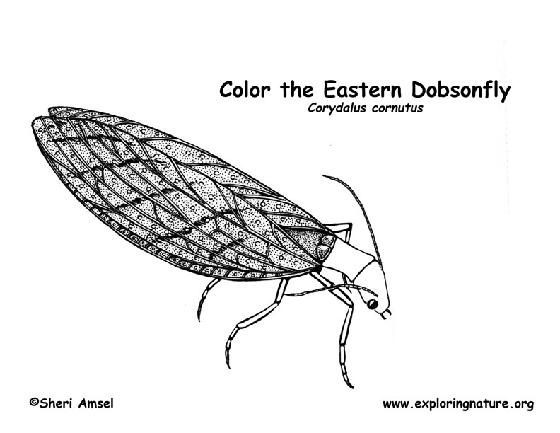 Dobsonfly Coloring Page