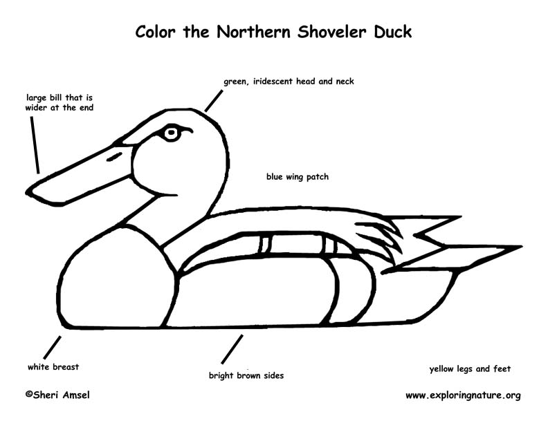 Duck (Northern Shoveler) Coloring Page