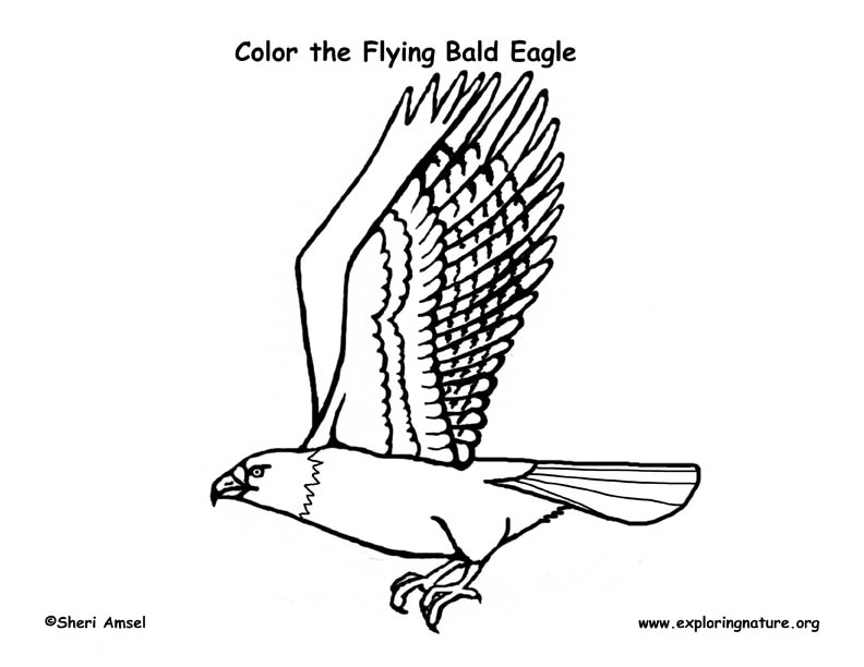 Eagle (Bald) Flying Coloring Page