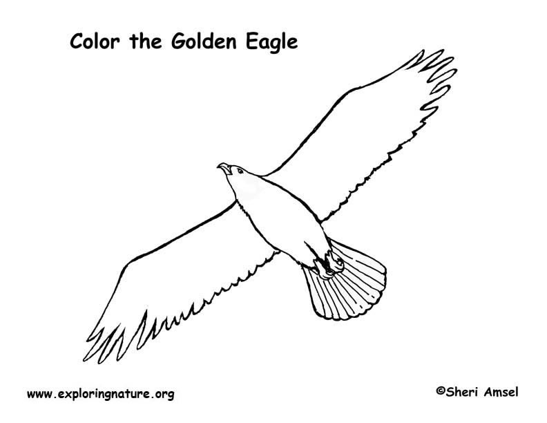 Eagle (Golden) Coloring Page