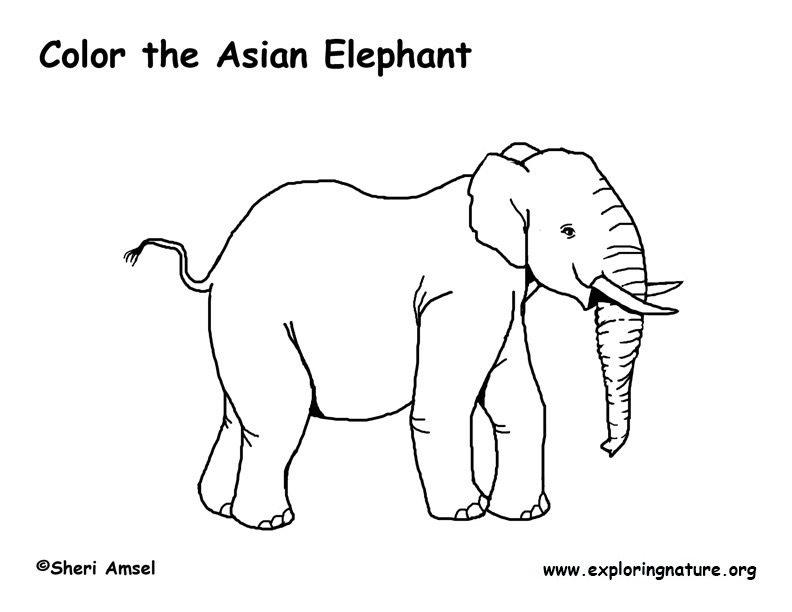Elephant (Asian) Coloring Page