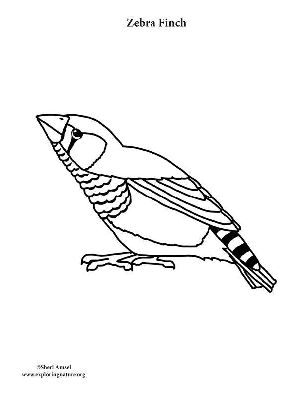 Zebra Finch Coloring Page