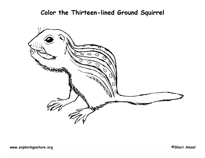 Ground Squirrel (Thirteen-lined) Coloring