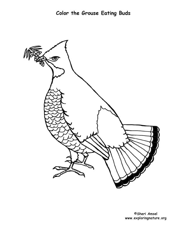 Grouse (Ruffed) Coloring Page