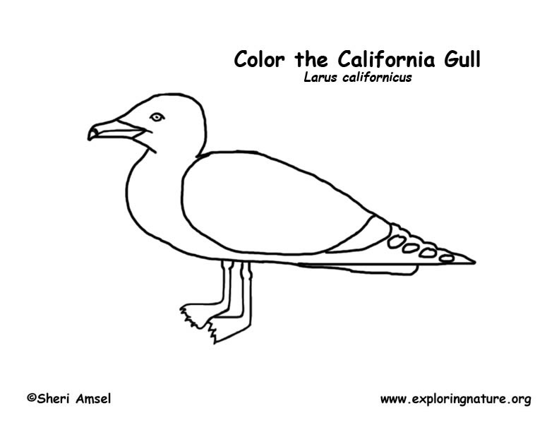 Gull (California) Coloring Page Gull (California
