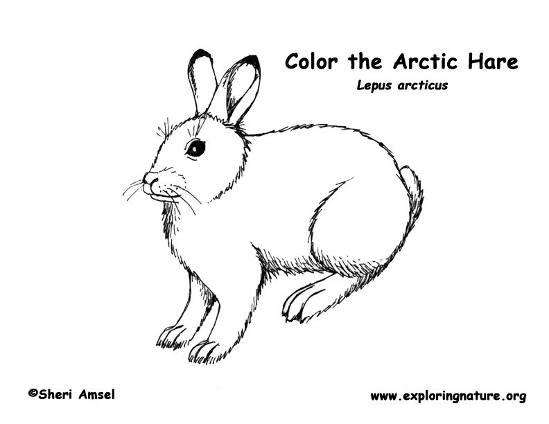 Hare (Arctic) Coloring Page