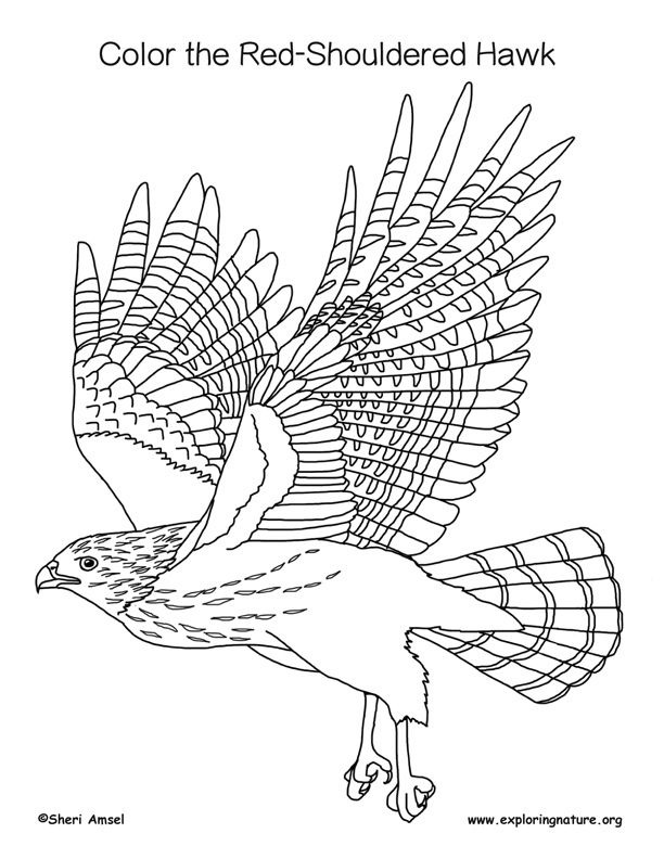 Hawk (Red-Shouldered) Coloring Page