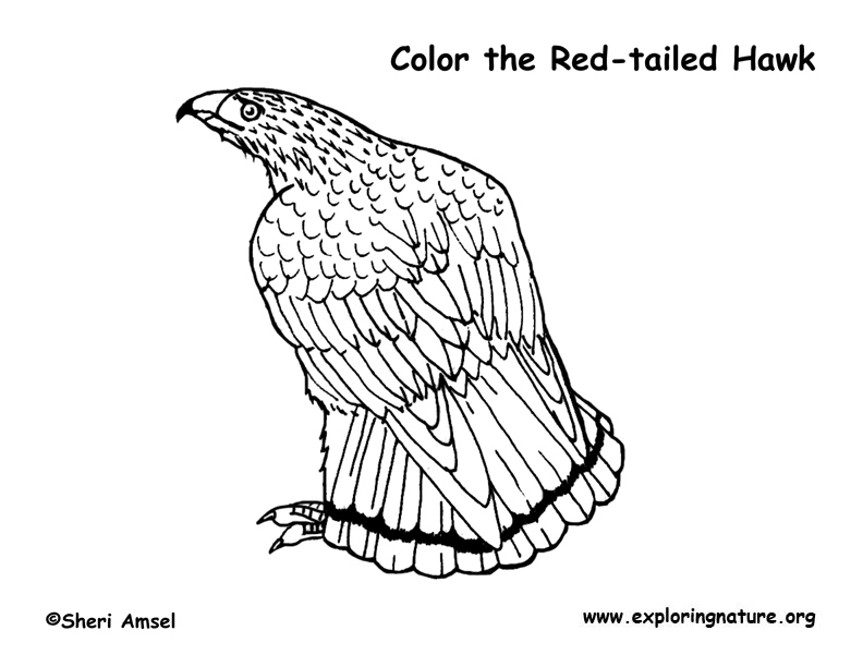 Hawk (Red-tailed) Coloring Page
