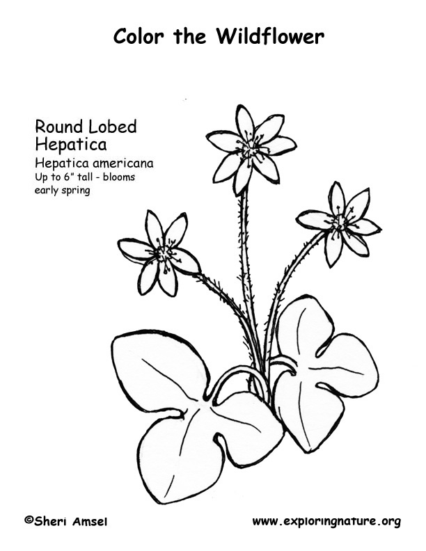 Hepatica (Round Lobed) Coloring Page