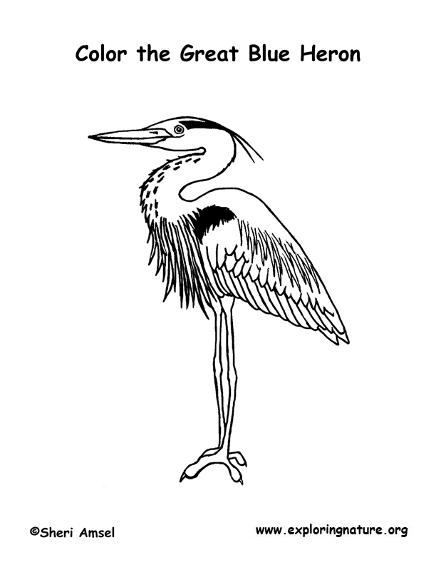 Heron (Great Blue) Coloring Page
