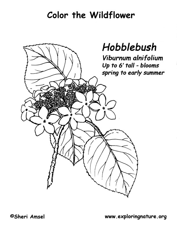 Hobblebush Coloring Page