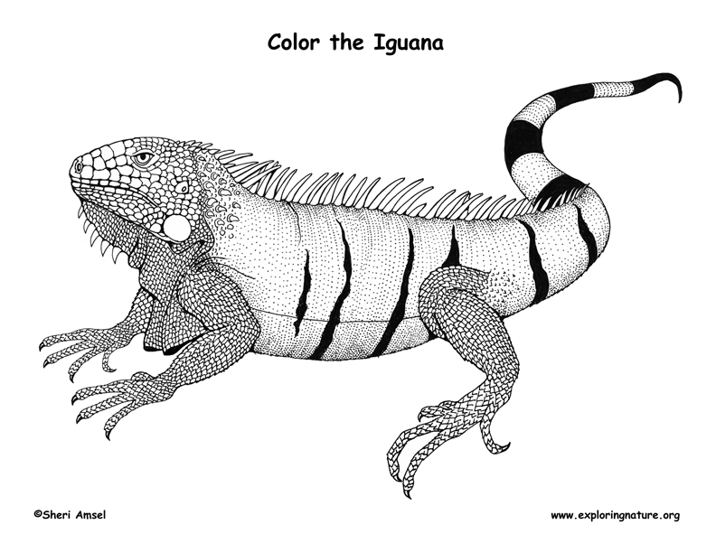 Draw Samples: Coloring Page Iguana Easy Drawing