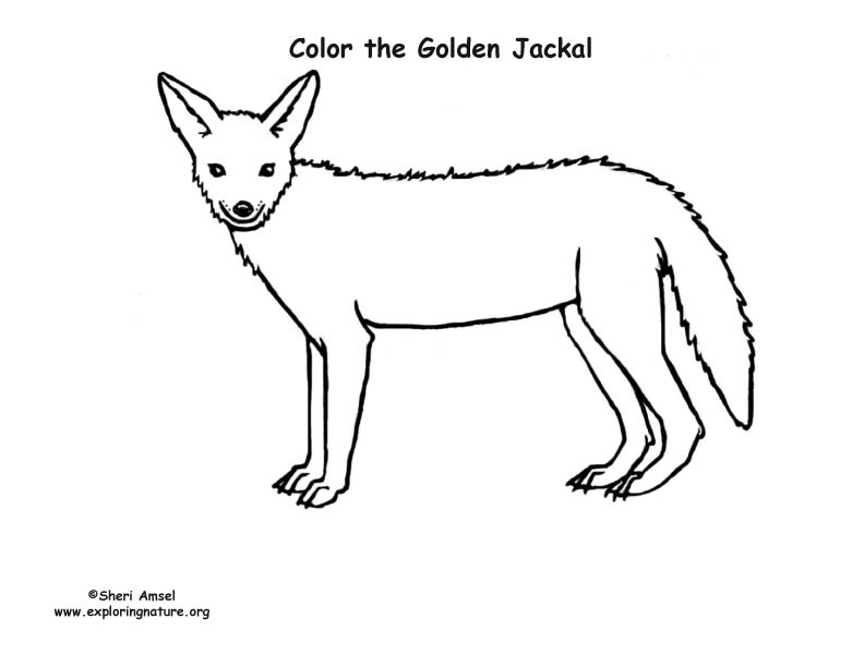 Jackal Coloring Page