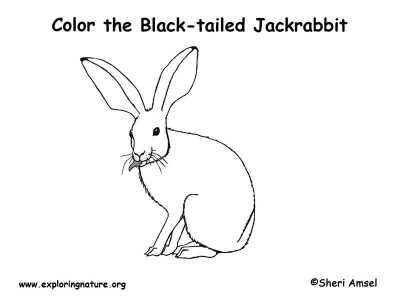 Jackrabbit Coloring Page