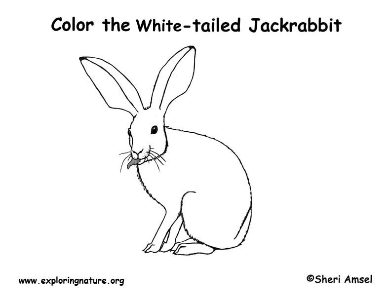 Jackrabbit (White-tailed) Coloring Page