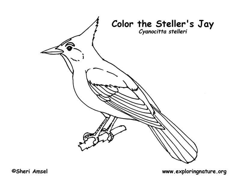 Jay (Stellar's) Coloring Page