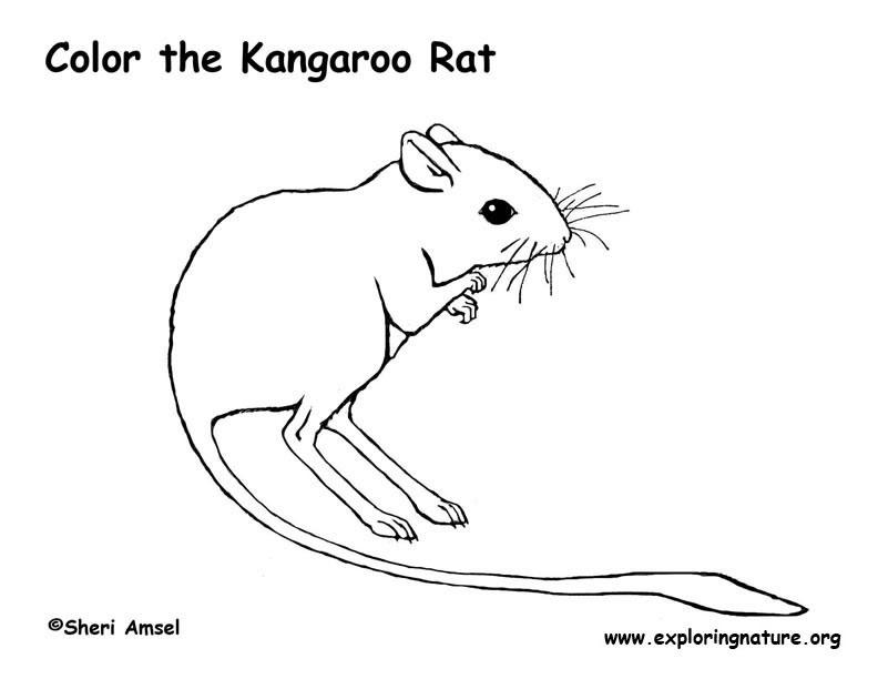Kangaroo Rat Coloring Page