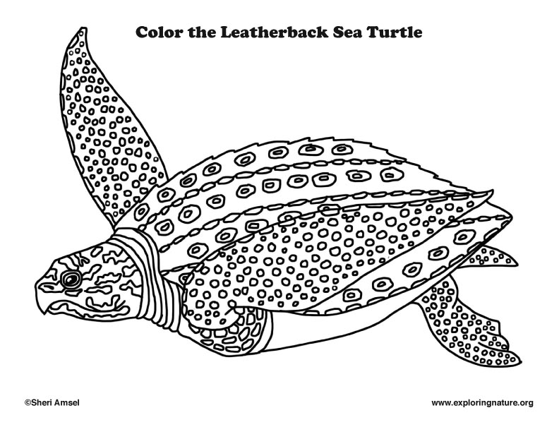 Sea Turtle (Leatherback) Coloring Page