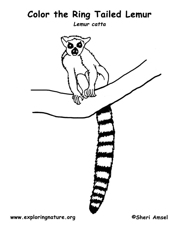 Lemur (Ring-tailed) Coloring Page