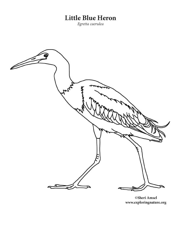 Heron (Little Blue) Coloring Page
