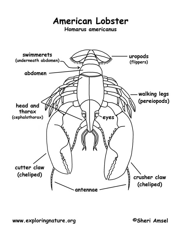 Lobster (Labeled) Coloring Page