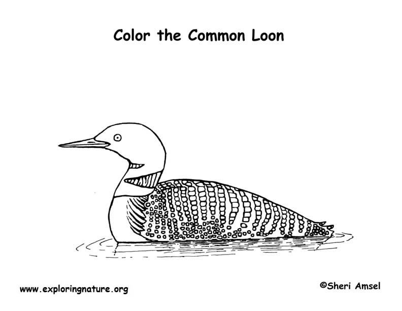 Loon (Common) Coloring Page