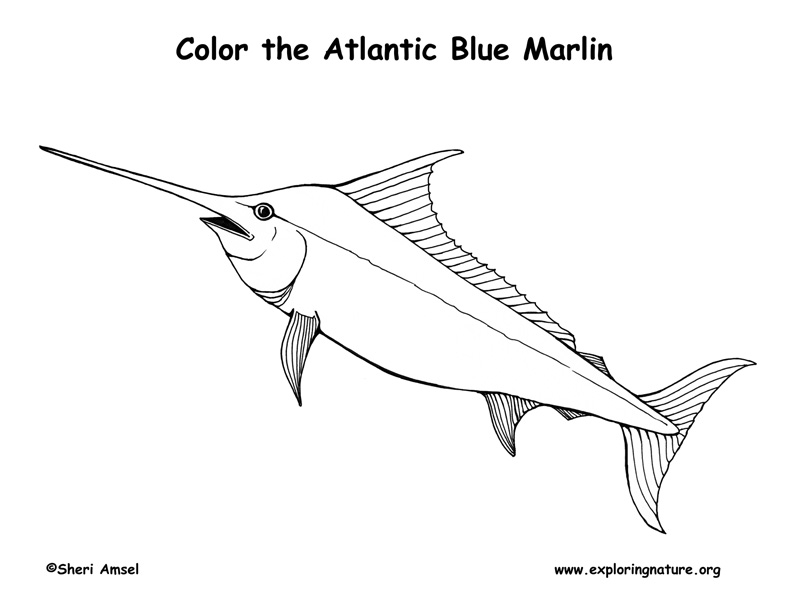 Marlin (Atlantic Blue)