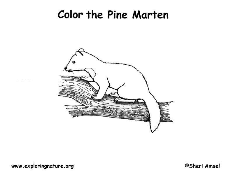Marten Coloring Page