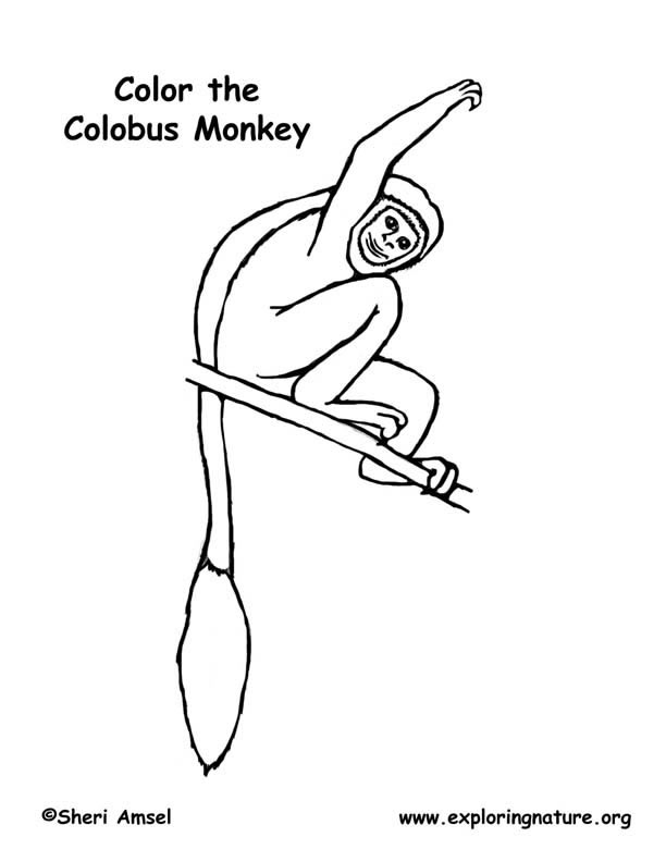 Monkey (Black & White Colobus) Coloring