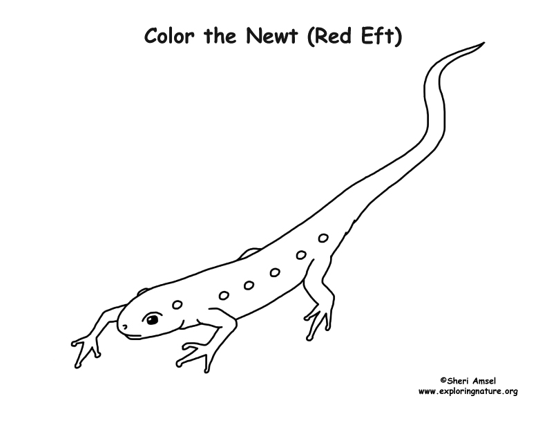 Newt Coloring Page (Red Eft)