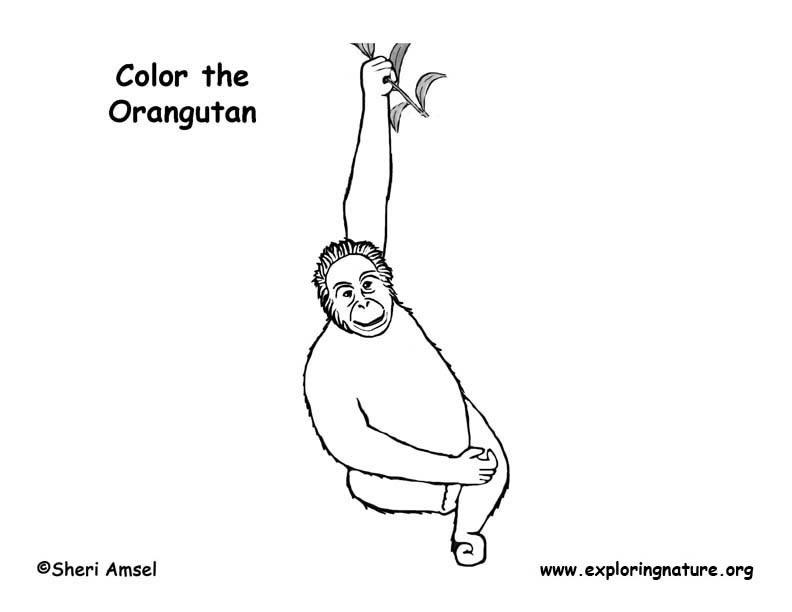 Orangutan Coloring Page