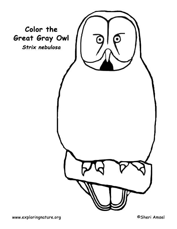 Owl (Great Gray) Coloring Page