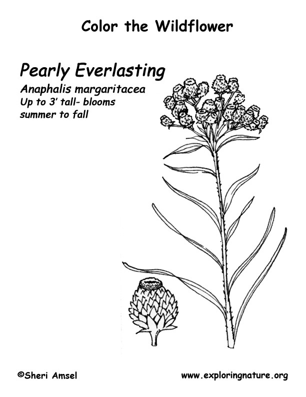 Pearly Everlasting Coloring Page