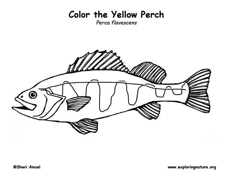 Yellow Perch Coloring
