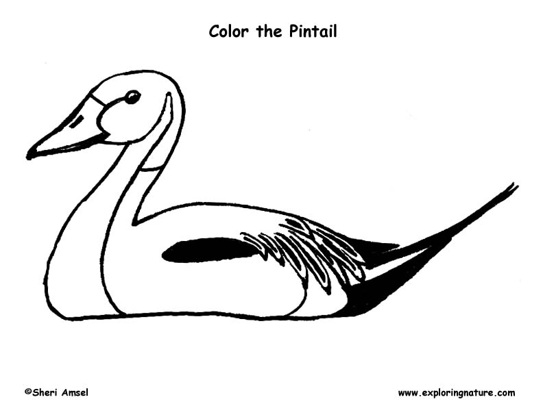 Duck (Northern Pintail) Coloring Page